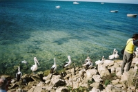 Ah, the pelicans. My favourite creatures on Kangaroo Island.